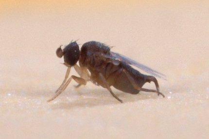 Фото мухи-горбатки