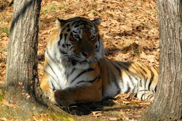 Дальневосточная тигрица Золушка