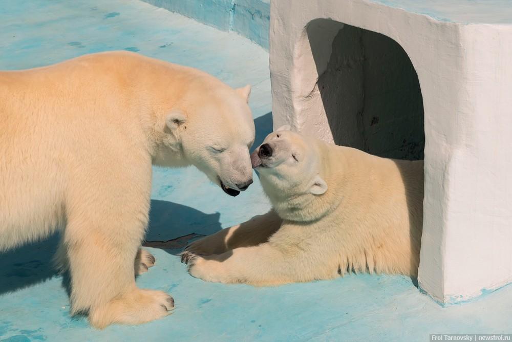 Любовь белых медведей