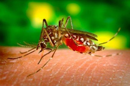 Комар пьёт кровь человека