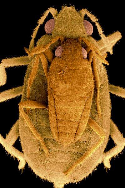 ВодомеркаPhoreticovelia disparata с самцом на спине