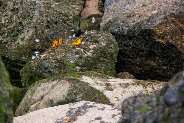 Бабочки на скалах. Фоннья. Вьетнам.