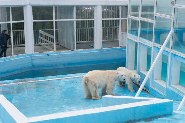 Белые медведи в геленджикском «Сафари-парке»