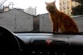 Кот по кличке Рыжий сидит на капоте автомобиля.