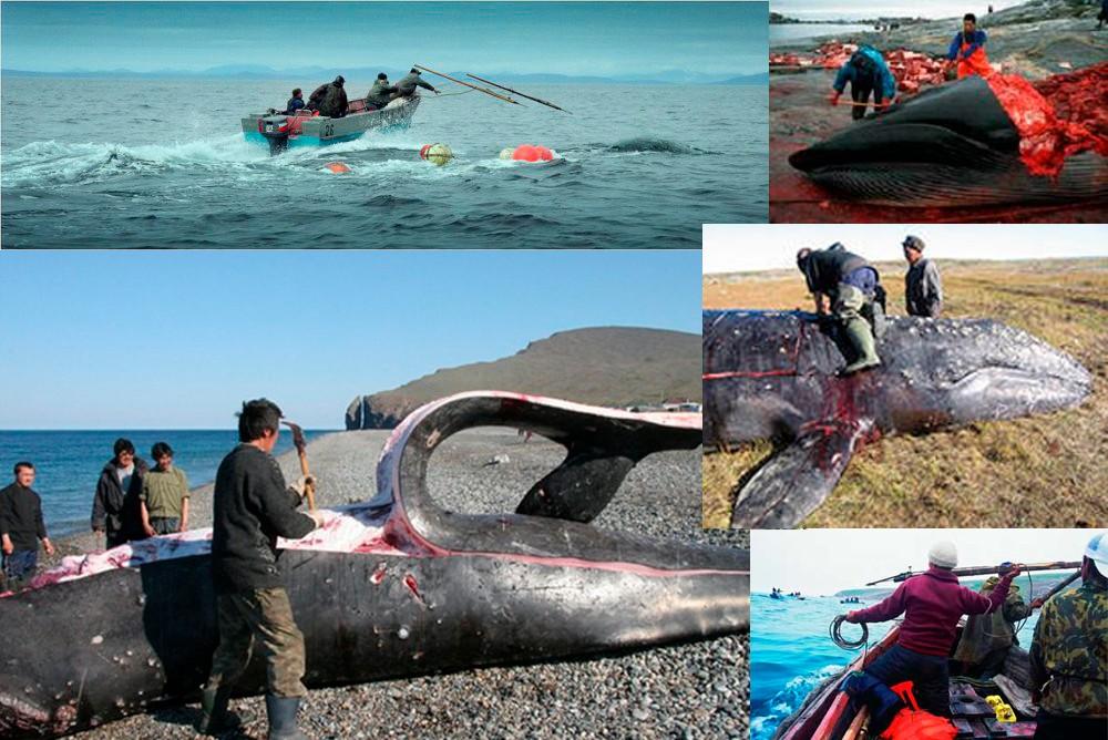 Охота на китов в Чукотском автономном округе