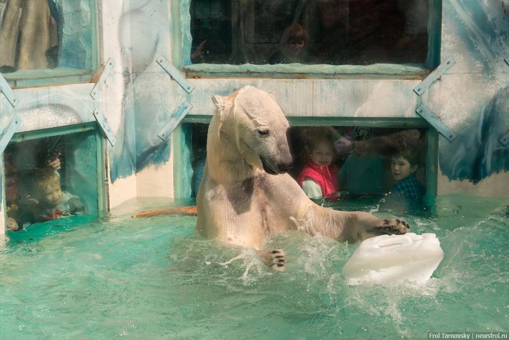 Молодой белый медведь играет с канистрой в бассейне