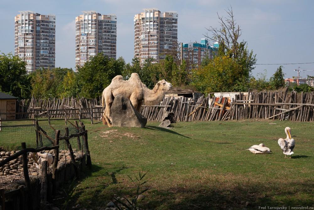 Верблюд в сафари-парке