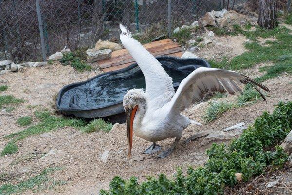 Розовый пеликан хлопает крыльями