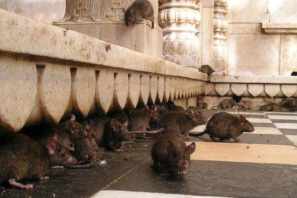 Девушка угодила вяму согромной агрессивной крысой