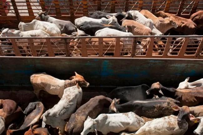 Истощенные животные на кораблях в Суэцком канале