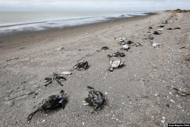 В Крыму берег Сиваша усеян трупами уток