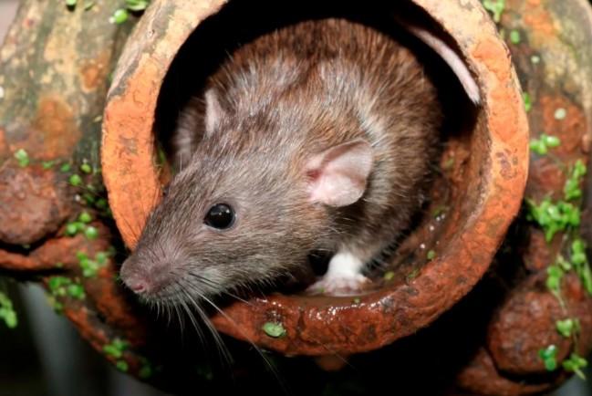 Крысы могут подхватить Covid-19 в канализации, переработать его и вернуть человечеству в виде новых вспышек пандемии