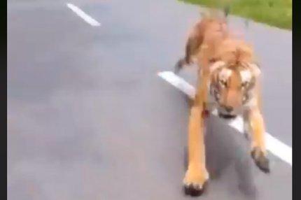 Погоня тигра за байкерами