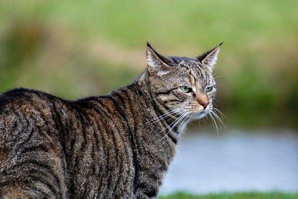 Зверь изКлешиндарроча. Вшотландском лесу отыскали огромного лесного кота