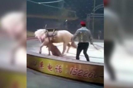 Львица атакует лошадь в китайском цирке