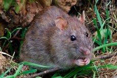 Крыса объелась анаши