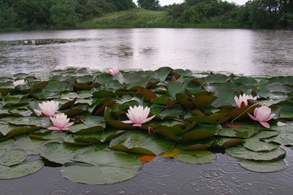 Кувшинки на озере.