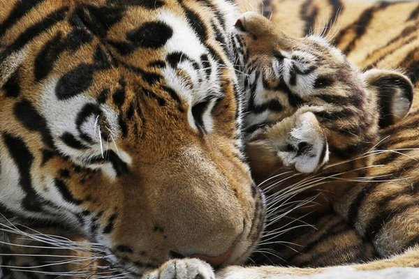 В Приморье ведется реабилитация целой тигриной семьи