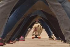 В Перу в городе Лима собака проехала на скейтборде в тоннеле из человеческих ног.