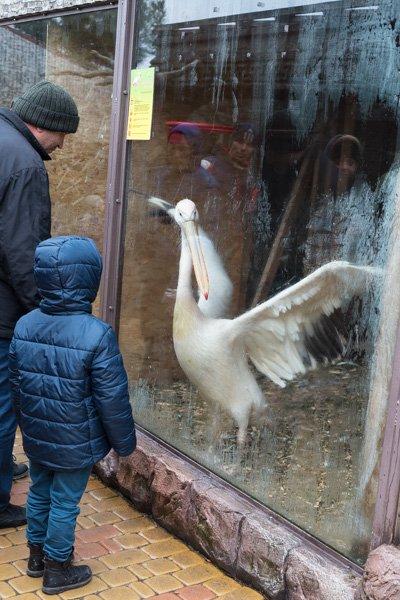 Пеликан в парке Геленджика