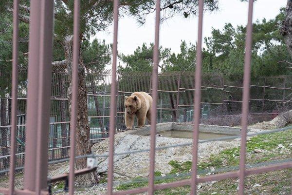 Наш любимый бурый медведь