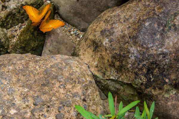 Оранжевые бабочки. Фоннья. Вьетнам.