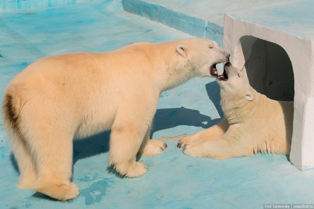 Влюбленная парочка белых медведей
