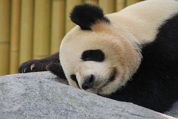В КНР  скончалась  старейшая панда напланете