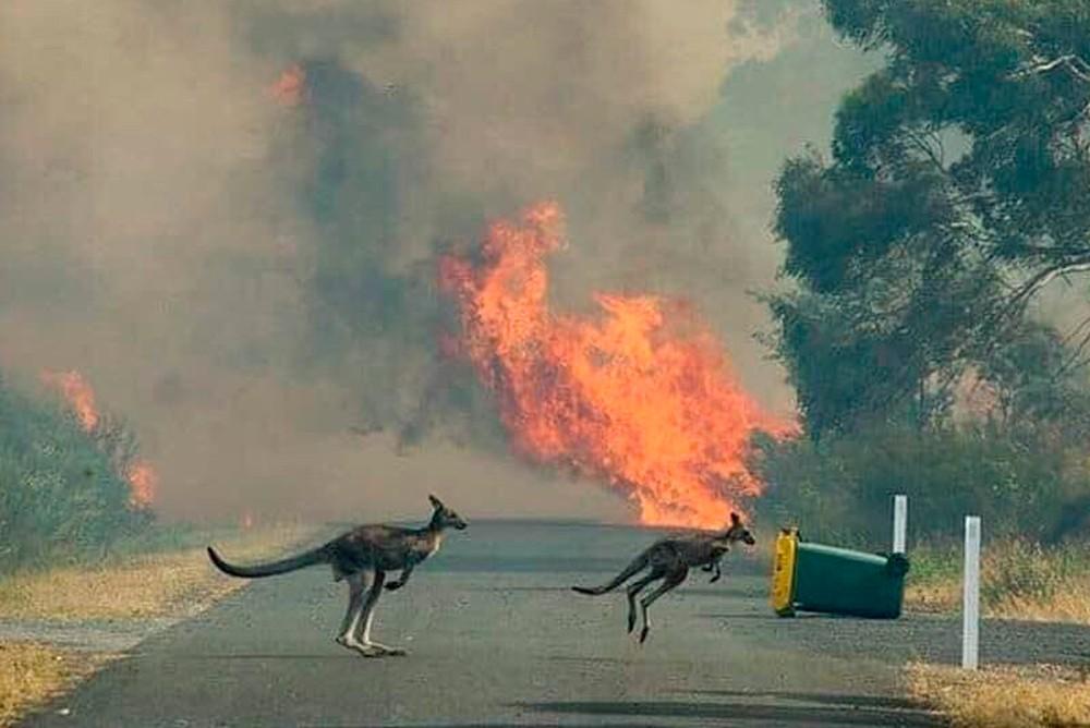 Кенгуру спасаются от лесного пожара