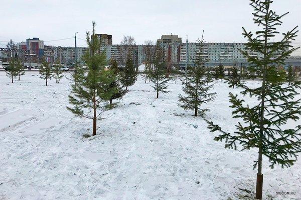 Красноярск озеленили по новой технологии - посадили срубленные ёлки во вбитые в землю трубы