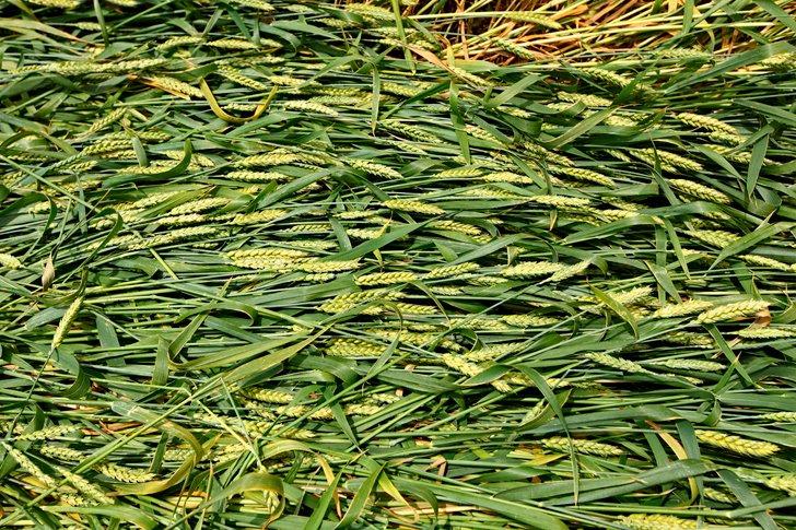 Прибитая к земле пшеница на полях, так получаются загадочные круги