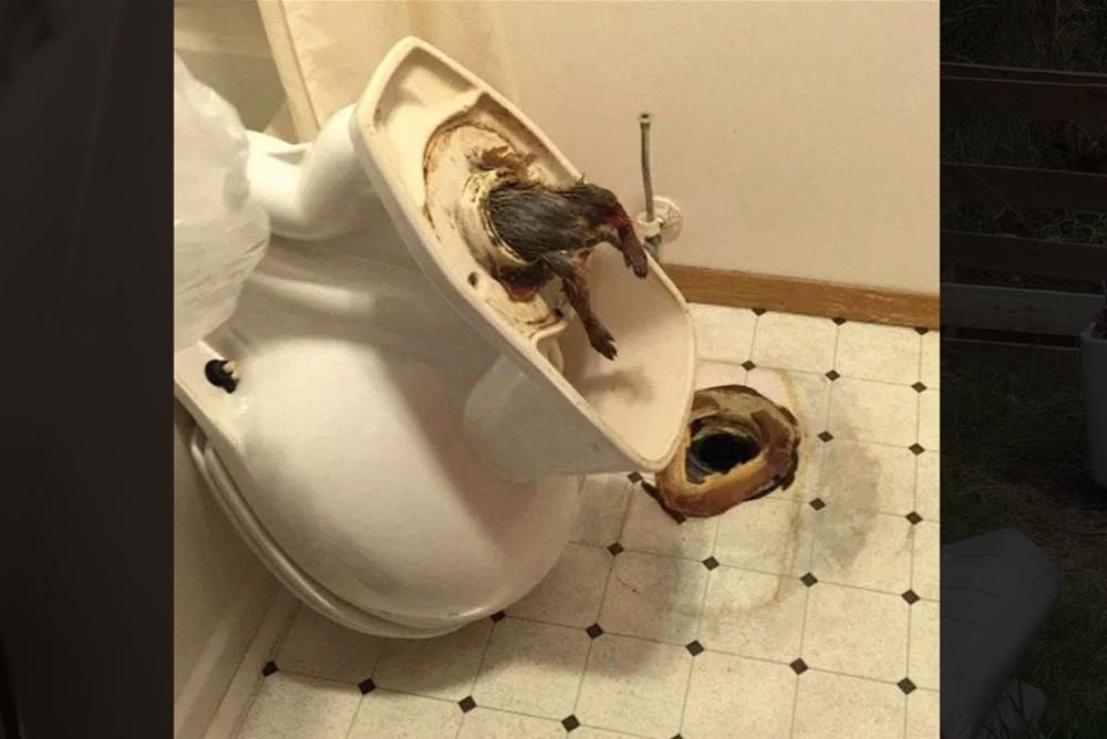 Крыса застряла в унитазе