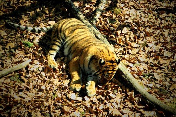 Дальневосточный тигрёнок
