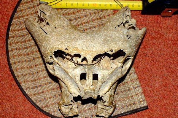 Второй найденный череп неопознанного существа