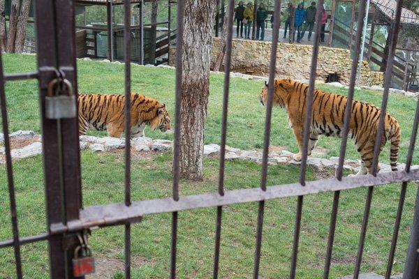 Посетители смотрят на тигров из-за стекла