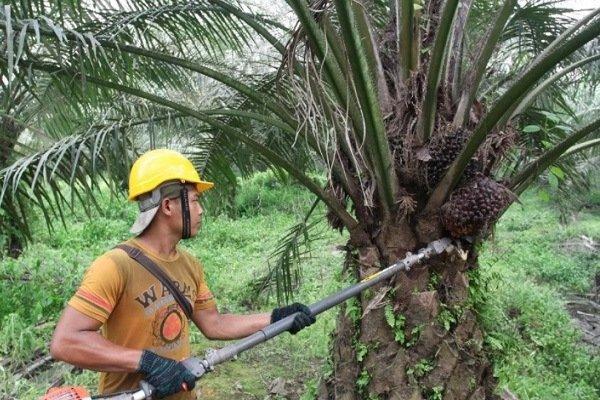В Российской Федерации импорт пальмового масла возрос до170 тыс. тонн